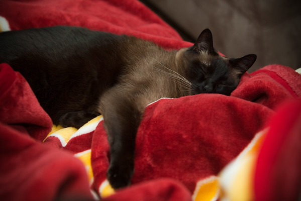 FEBRUARY - When relaxing with mommy on the family room sofa, Mushu prefers the USC blanket over any other