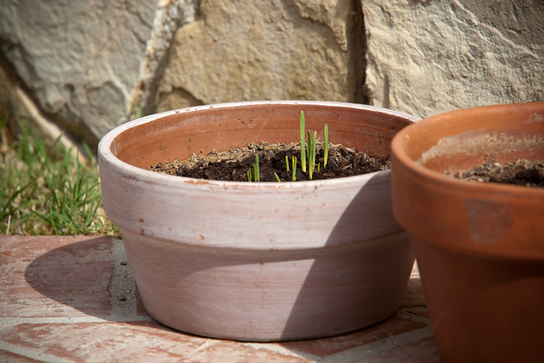 MAY - The first blades of cat grass emerge