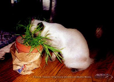 Mushu tries grass...in a pot