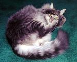Meeko on a catnip high