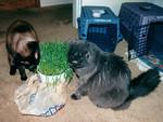 Eat grass or attack Bella???