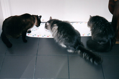 Mushu, Meeko, and Bella eating side-by-side-by-side (May, 2001)