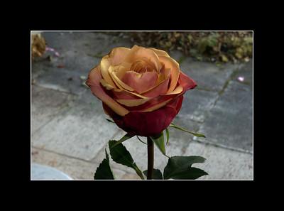 Rose von Bernd  16. November 2011