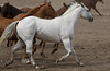 Beautiful White horse running with the Mules - Bishop Mule Days, California