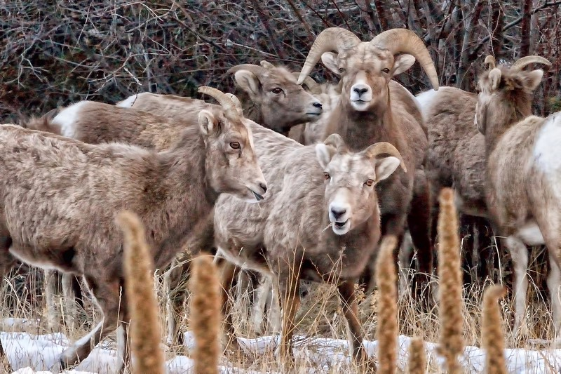 Bighorn sheep near Red River, New Mexico