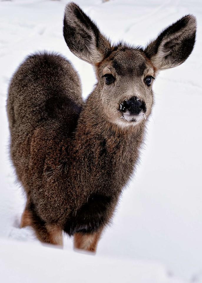 Red River mule deer
