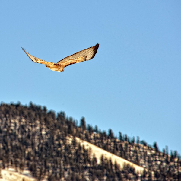 Southern view of a northbound redtail hawk