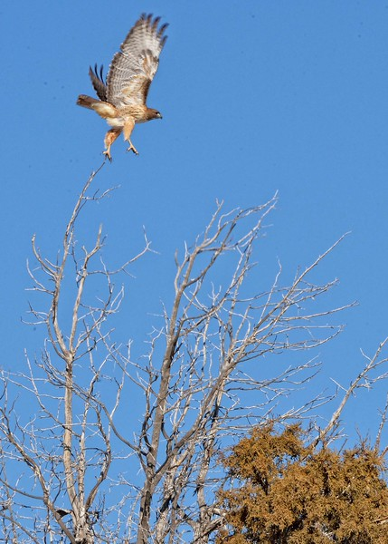 Redtail  hawk taking flight