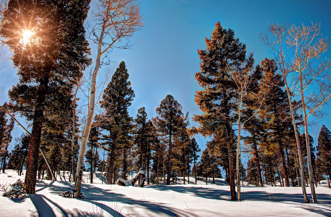 Taos Pines on the High Road to Taos