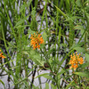 Yellow fringed orchids