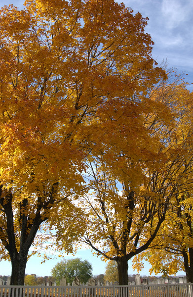 Maples glowing gold on church grounds after the recital