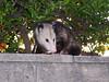 Mama Possum