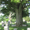 Sherman Cemetery. Tree growing around gravestones.