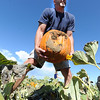 "Kerry Fritzler of Arvada, does the heavy lifting when it is time to remove a pumpkin fro Rock Creek Pumpkin Farm.<br /> For more photos and a video of pumpkin patches, go to  <a href=""http://www.dailycamera.com"">http://www.dailycamera.com</a><br /> Cliff Grassmick / October 2, 2011"