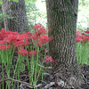 Spider lilies in the woods