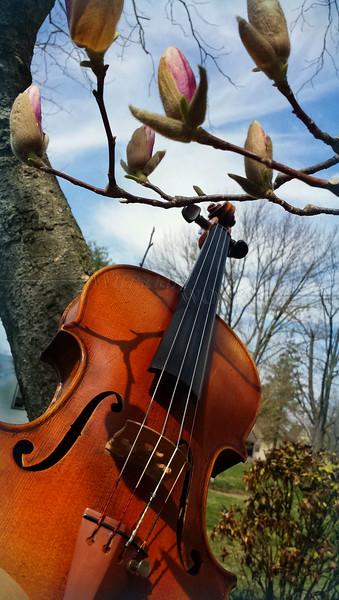Violin into the budding magnolia tree!