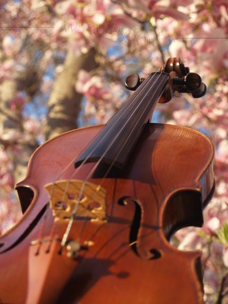 Violin in Magnolia