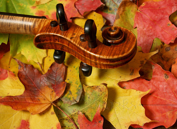 Tiger Maple Fiddle Scroll on Fall Maple Leaves