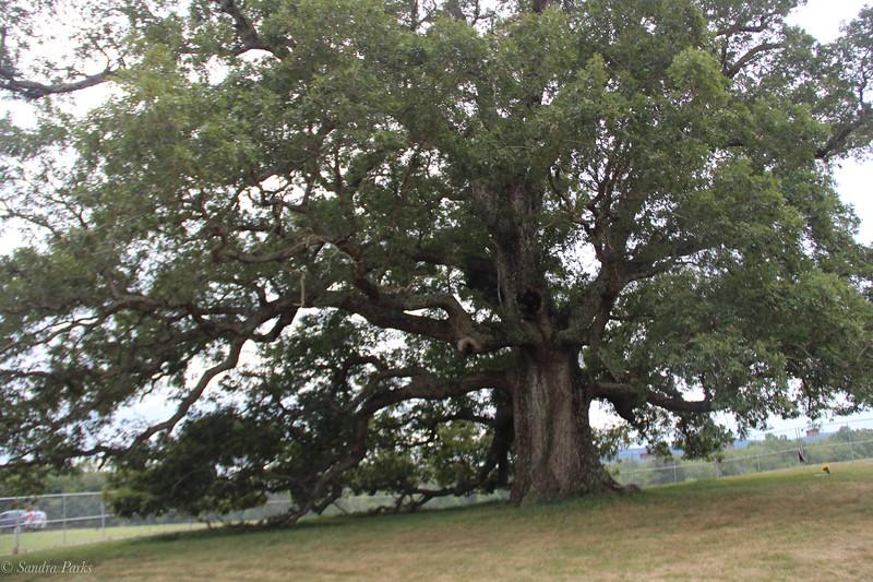 Lockn Tree