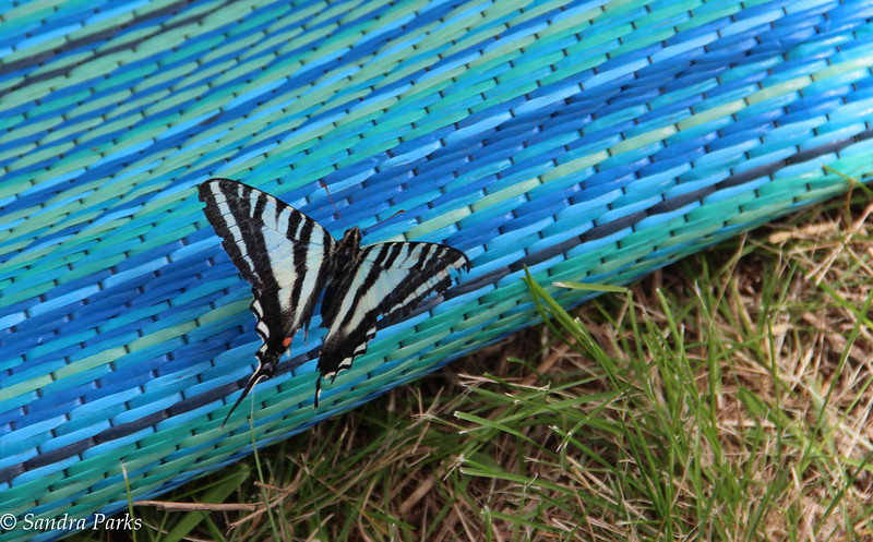 Butterfly on the camp rug