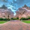 Cherry Blosson<br /> The Quad UW 3/15