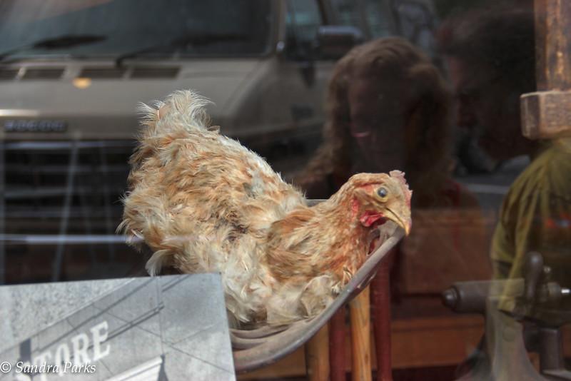 Chicken in the window