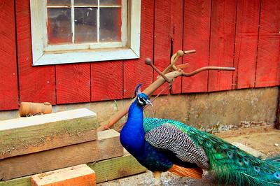 peacock 032