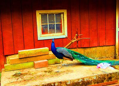 peacock030