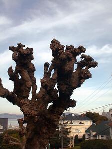 gnarly-tree-san-fran220