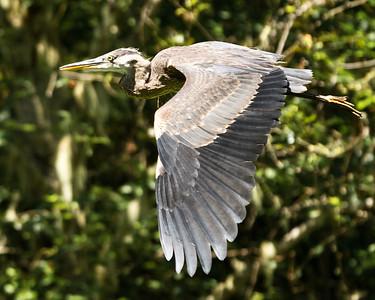 16x20 Blue Heron