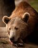 16x20 Bear