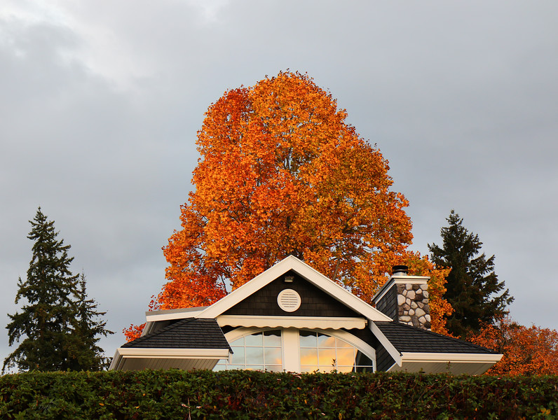 A flaming Fall maple against a typical Seattle sky at sunset.