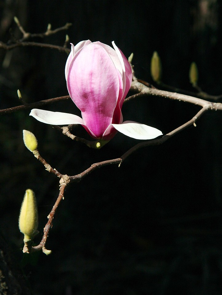 A partly bloomed magnolia encountered on a walk in the lower campus at Thomas Aquinas College.