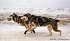 2015 Kearney Dog Sled Race 5