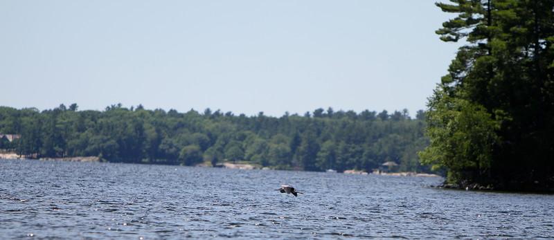 Heron visits the bay in Muskoka