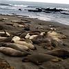 Seals at San Simeon