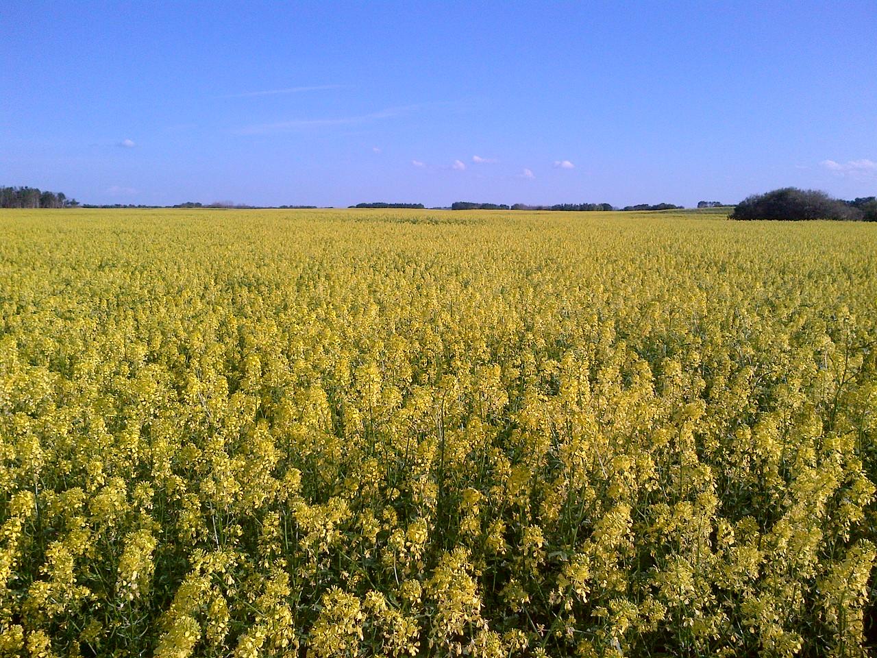 Mustard in Bloom