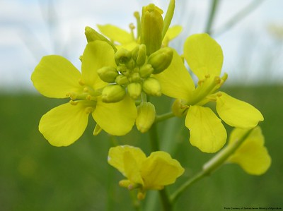 Brown Mustard Flower