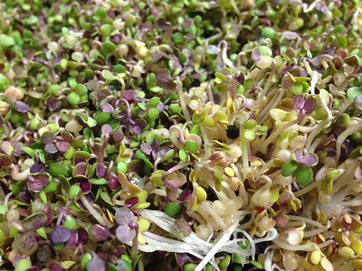 Mustard Sprouts