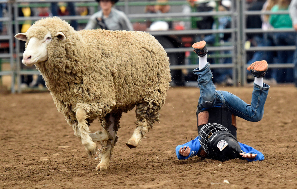 . Walker Sanborn gets bucked off the sheep during the Mutton Busting event on Thursday at the Boulder County Fairgrounds in Longmont. For more photos of the event go to dailycamera.com Jeremy Papasso/ Staff Photographer/ Aug 3, 2017