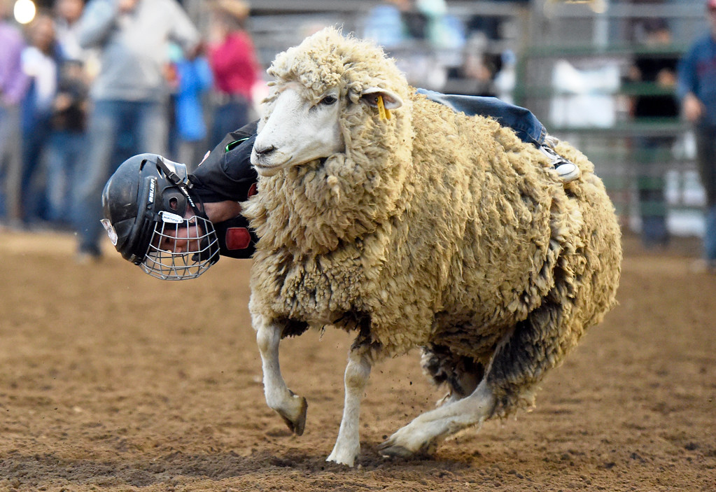 . BEST 3. A child, not identified, hangs on for dear life as he rides a sheep during the Mutton Busting event on Thursday at the Boulder County Fairgrounds in Longmont. For more photos of the event go to dailycamera.com Jeremy Papasso/ Staff Photographer/ Aug 3, 2017