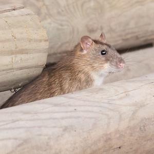 Rotta piileskeli Haltialan tilan pihalla.