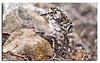 411. Baird's Sandpiper chick.