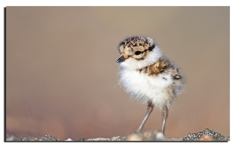 244. Finally they hatched..................Ringed Plover chick. 16th Juli 2011.