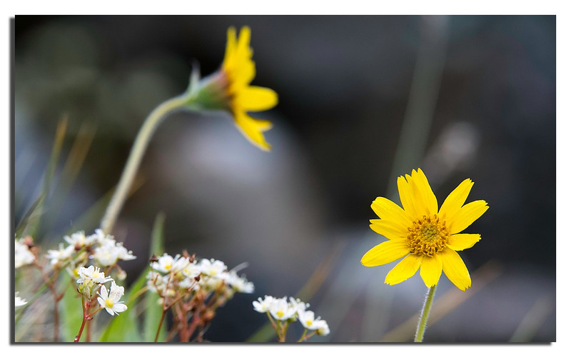 422. Arctic Arnica. Canon 1D X & Canon 200mm f/2,0 L IS & 1,4 Extender & 24mm Extension Tube.