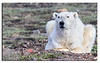 429. An old? Male Polar Bear from August 2013. He is skinny and in very bad condition; i think he is close to dying.............