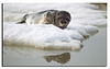 233. A young Seal resting on an Ice floe. Being a little cautious you sometimes can get very close. Captured 20th June 2011.