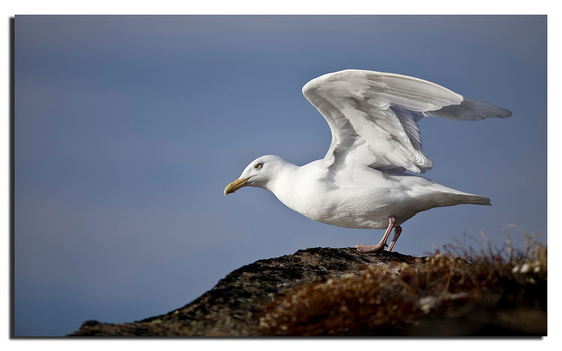 8. Gull, ready for take-off....................