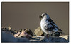 413. Snow Bunting Female.