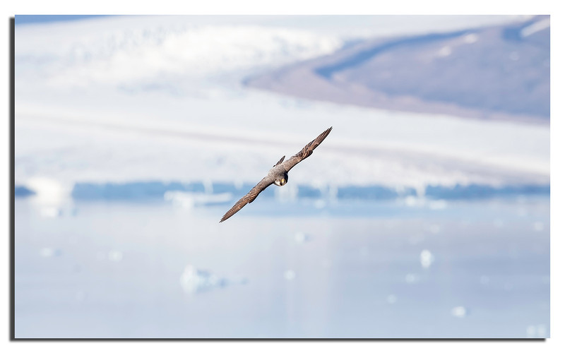 426. Peregrine with Chamberlain Glacier in background............